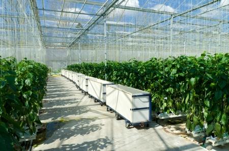 Cultivo de pimientos en un invernadero comercial en Klazienaveen, Países Bajos Foto de archivo - 21853909