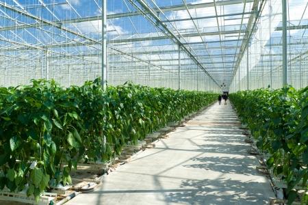 pimenton: cultivo de pimientos en un invernadero comercial en Klazienaveen, Países Bajos