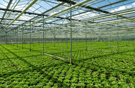 cultivation of endive in a commercial greenhouse in Klazienaveen, Netherlands