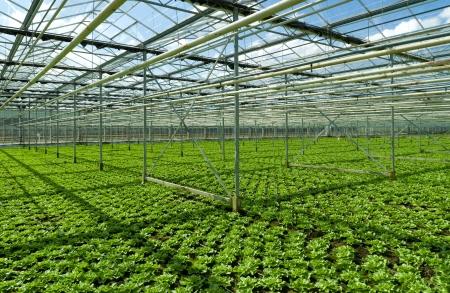 escarola: cultivo de la endibia en un invernadero comercial en Klazienaveen, Pa�ses Bajos