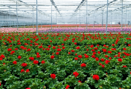 Klazienaveen、オランダの温室のゼラニウムの花の栽培