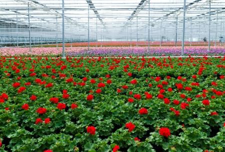 teelt van geranium bloemen in een kas in Klazienaveen, Nederland Stockfoto