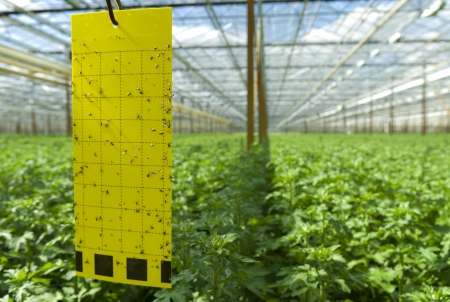 insecticidal: adhesive strip in a greenhouse for counting insects and other pests Stock Photo