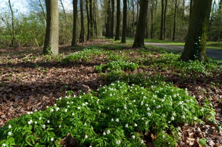 blooming white wood anemones between the trees photo