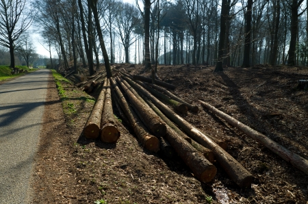 thinning: bunch of cut down trees in a forest ready for transportation