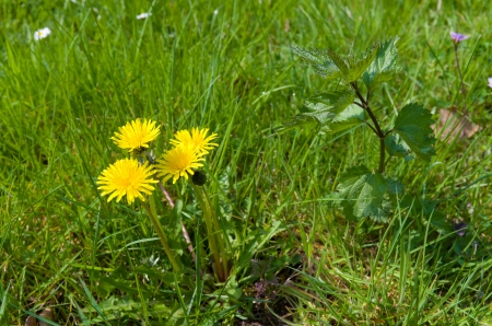 blooming yellow dandelions next to a nettle plant photo