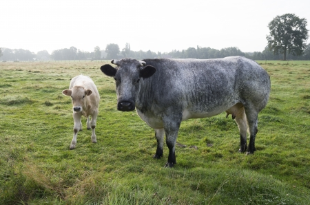 belgian blue cow with calf 免版税图像