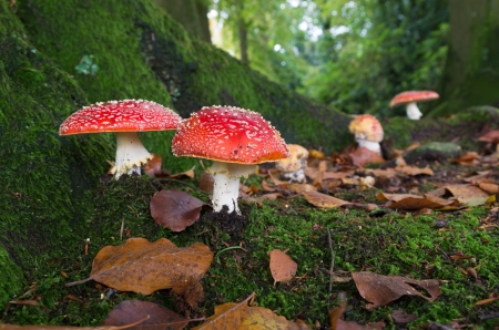 red agaric fly mushrooms on a tree in the forest