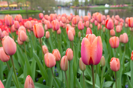 tulipa: field of blooming pink tulips Stock Photo