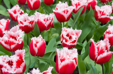 red with white tulips with typical fringed edge photo