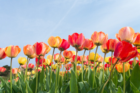 colorful tulips under a sunny sky photo