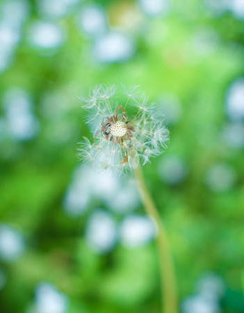 closeup of a blooming dandelion