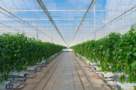 teelt van groene paprika's in een commerciële kas in Nederland Stockfoto