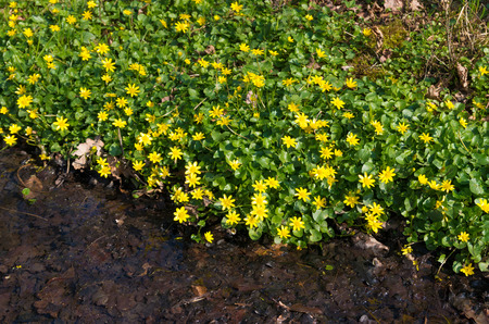ditch: yellow primrose flowers next to a ditch
