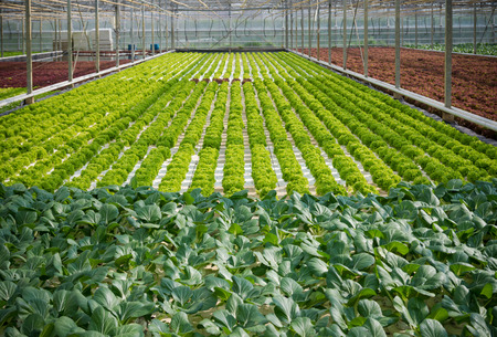 the greenhouse: cultivation of lettuce and cabbage in a greenhouse in the netherlands Stock Photo