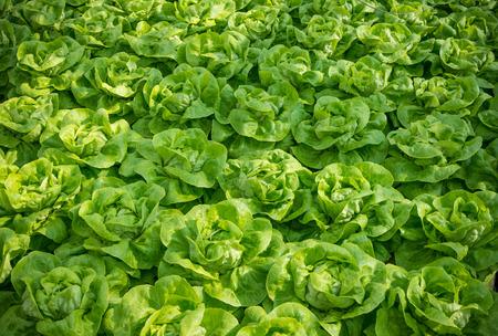 invernadero: lechuga lista para cosechar en un invernadero comercial en los pa�ses bajos Foto de archivo