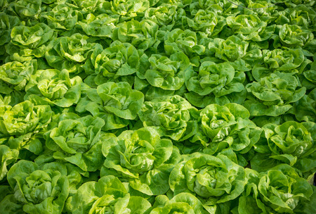 the greenhouse: lettuce ready to harvest in a commercial greenhouse in the netherlands