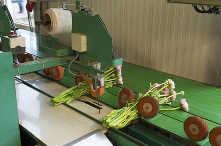 bundling: flower bundling machine in a commercial dutch greenhouse