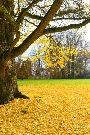japanes: ginkgo tree or japanese walnut tree in yellow autumn colors