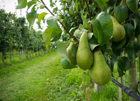 abundant: ripe pears ready for harvest in a pear orchard in the netherlands Stock Photo