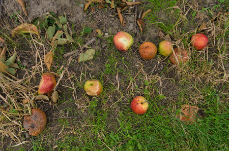 putrefied: fallen and rotting apples on the ground Stock Photo