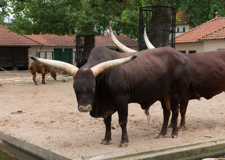 longhorn: two longhorn bulls in the amsterdam zoo Stock Photo