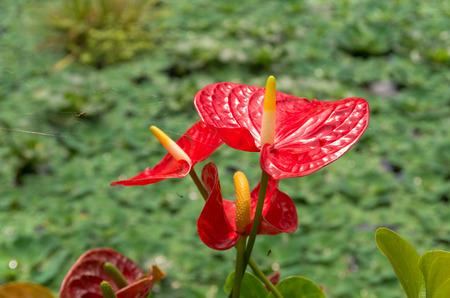 anthurium: closeup of red anthurium flowers