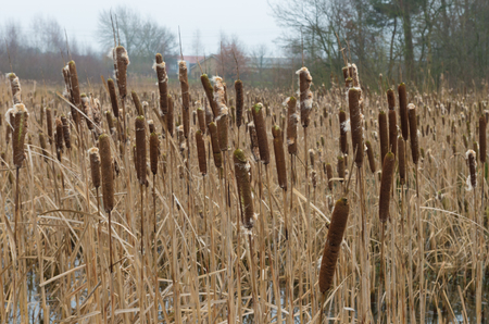cattails: swamp with blown cattails in winter time