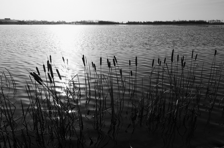 cattails: monochrome image of cattails in backlight at a lake in the netherlands