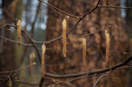 hazel branches: closeup of a filbert tree in an autumn forest