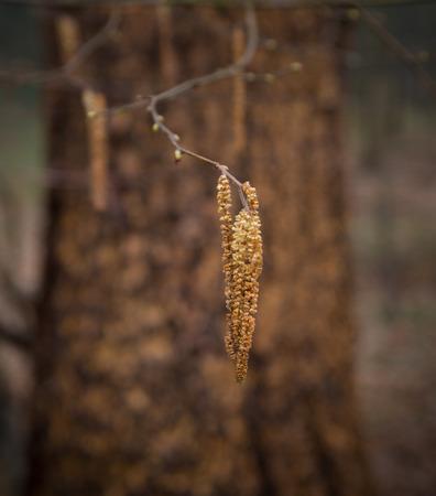 filbert: closeup of a filbert tree in an autumn forest