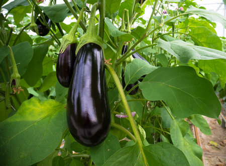 ripe purple eggplant growing in a greenhouse in the netherlands