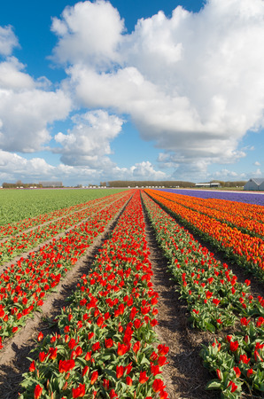 endless rows of blooming red tulips in an agricultural dutch landscape Stock Photo