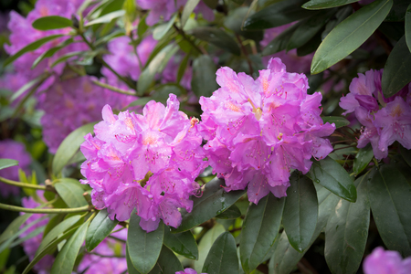 blooming pink rhododendron flowers after rain