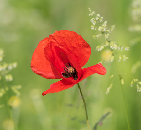 beautiful blooming red poppy flower in a meadow Stock Photo