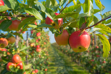 trees full with ripe red apples in the netherlands