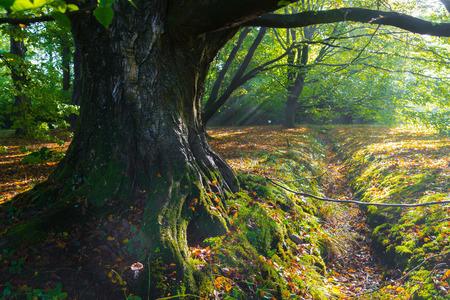 beech tree trunk in an zutumn forest Stock Photo