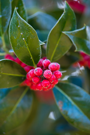 closeup of outdoor holly with frost on its red berries