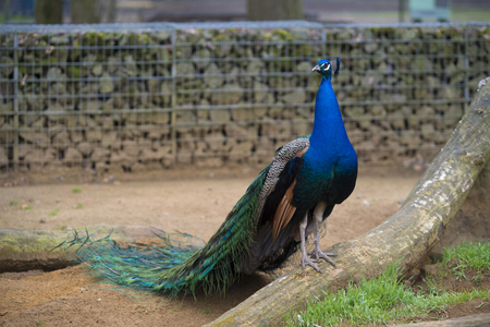 beautiful peacock in a park in germany Stok Fotoğraf