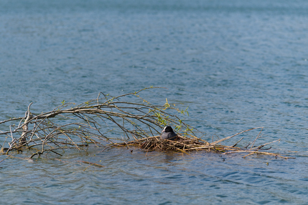 female moorhen sitting on her nest in a lake Stock Photo