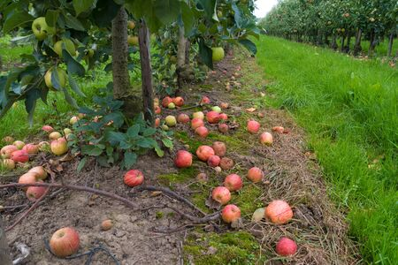 fallen and rotten elstar apples in an orchard