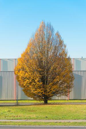 single tree in fall along a street Reklamní fotografie