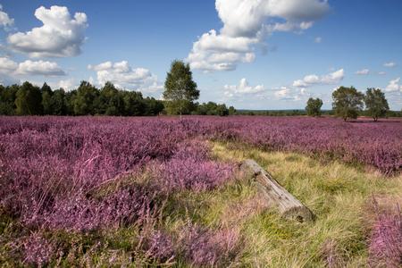 The Heath Blossom in the Lueneburg Heath