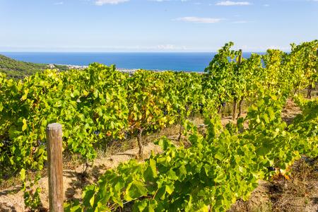 arboles frutales: Viñedos de la región vinícola de Alella en las cercanías de Barcelona, ??en el Mar Mediterráneo.