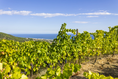 cluster house: Vineyards of the Alella wine region in the vicinity of Barcelona on the Mediterranean Sea.