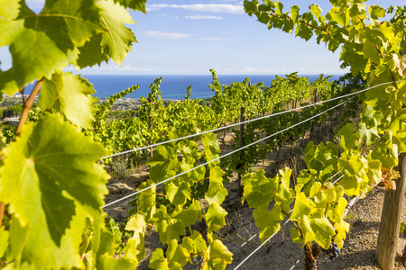 vicinity: Vineyards of the Alella wine region in the vicinity of Barcelona on the Mediterranean Sea.