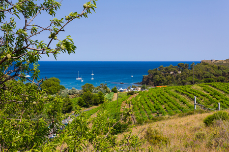 PORT-VENDRES, FRANCE - JUNE 26 2016: View of the coast near Port Vendres with vineyards and almond trees in foreground and Mediterranean beach in background, Mediterranean sea, Pyrenees Orientales, Roussillon, France
