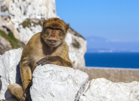 Monkey in Gibraltar, Barbary Ape in the British overseas territory of Gibraltar sitting on rock against scenic seascape.