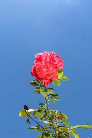 Rose under the blue sky Stock Photo