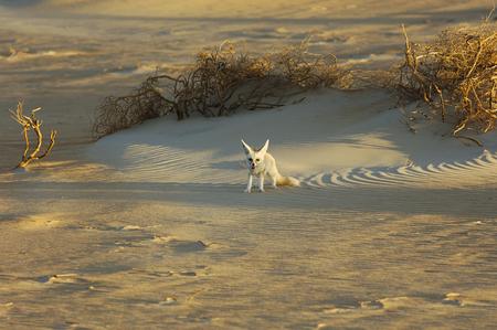 Desert fox in Rub Al Khali Banco de Imagens
